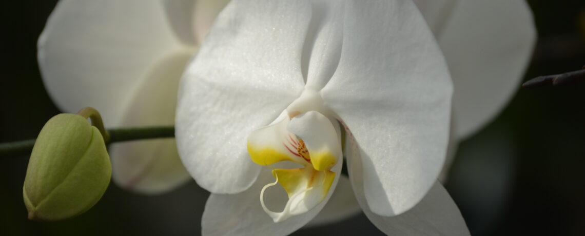 Why Did My Purple Orchid Turn White When It Bloomed Again?